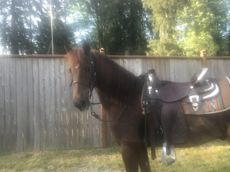 Aranaway Bill, Morgan Gelding for sale in Washington