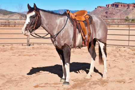 Tango, Thoroughbred Cross Gelding for sale in Colorado