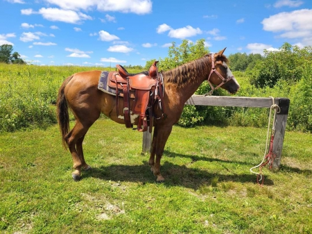 Registered APHA mare, American Paint Horse Association Mare for sale in Minnesota