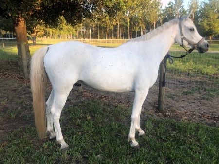 Shahkir Al Shaqab, Arabian Gelding for sale in Florida
