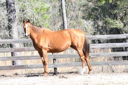 Marlo, Thoroughbred Mare for sale in Florida