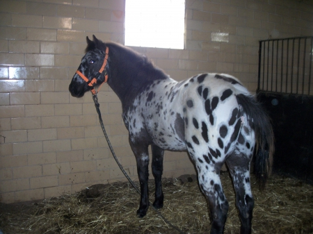 Ulrichs Cowboy Justice, Appaloosa Colt for sale in Illinois