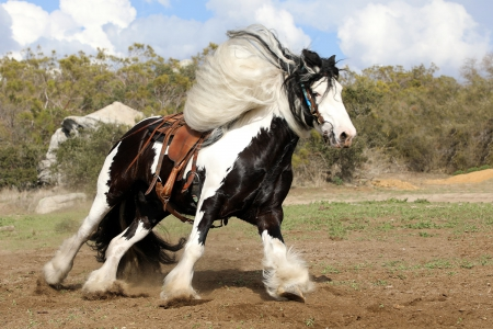 Dream Horse Alert! Bombproof Beautiful Gypsy for Sale , Gypsy Vanner Gelding for sale in California