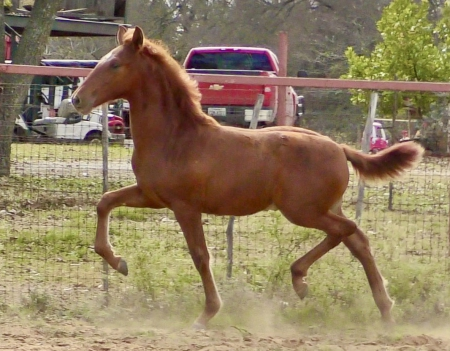 Icarus JMG, Andalusian Colt for sale in Texas