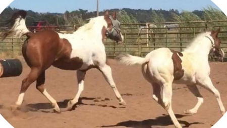 Barts Last Link, American Paint Horse Association Mare for sale in Oregon