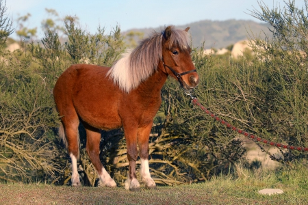Patriot - Sweetest Pony Gelding for Sale , Ponies Gelding for sale in California