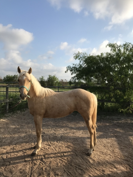 SS N PEP, American Quarter Horse Filly for sale in Texas