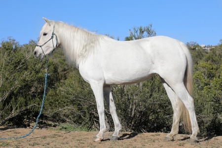 Star- A Beautiful Unicorn Pony for Sale , Ponies Mare for sale in California