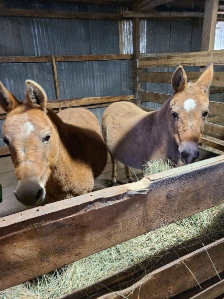 Dusty and Daisy, Miniature Mule for sale in Illinois