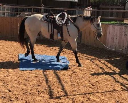 Blevins, American Quarter Horse Gelding for sale in Texas