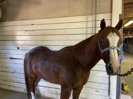 Ozzy, American Quarter Horse Gelding for sale in Michigan