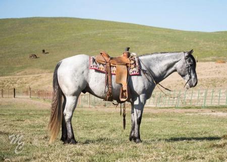 Jack, American Quarter Horse Gelding for sale in Virginia