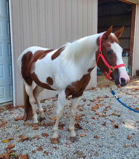Laramie , American Paint Horse Association Mare for sale in Indiana